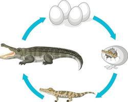 livscykel av krokodil på vit bakgrund vektor