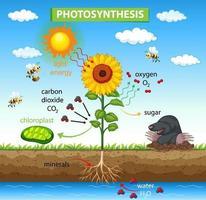 diagram som visar processen för fotosyntes i anläggningen