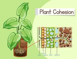 diagram som visar växt sammanhållning