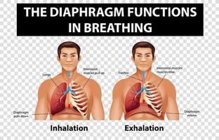 Diagramm, das Zwerchfellfunktionen beim Atmen auf transparentem Hintergrund zeigt vektor