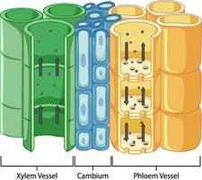Diagramm, das das Gefäßgewebesystem in Pflanzen zeigt vektor