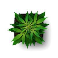 Die Cannabispflanze wächst im Wachstumsstadium in einem quadratischen Topf von oben. grüner Marihuana-Busch lokalisiert auf weißem Hintergrund vektor