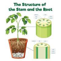 die Struktur des Stiels und der Wurzel vektor