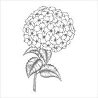 Hand gezeichnete Hortensienblume und Blätterzeichnung lokalisiert auf weißem Hintergrund. vektor