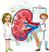 Arzt und menschliche Nierenanatomie auf weißem Hintergrund vektor