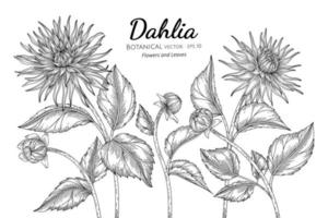 Satz gezeichnete botanische Illustration der Dahlienblumen und -blätter Hand mit Strichgrafiken auf weißem Hintergrund. vektor