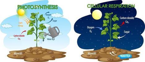 diagram som visar processen för fotosyntes och cellulär andning