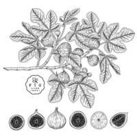 vektor skiss fikon frukt handritad botanisk dekorativ uppsättning