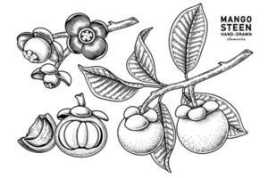 Satz gezeichnete Elemente der Mangostanfruchthand gezeichneten botanischen Illustration vektor