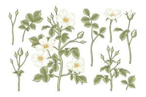Satz von gezeichneten botanischen Illustrationen der weißen Hundrose oder der rosa canina Blume vektor