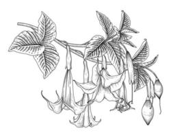 Engelstrompetenblume oder Brugmansia-Zeichnungen vektor
