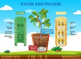 diagram som visar xylem och floem av växten