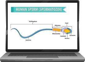 menschliches Sperma auf Laptop-Desktop vektor