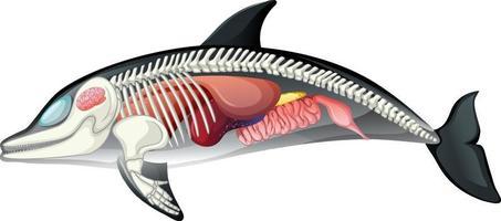 anatomi av delfiner isolerad på vit bakgrund vektor