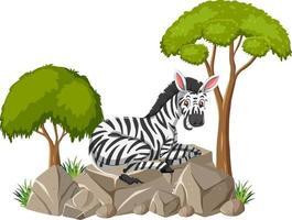 isolierte Szene mit einem auf Stein liegenden Zebra vektor