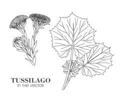 Skizze von Tussilago auf einem weißen Hintergrund vektor