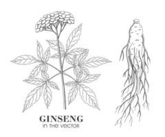 Skizze von Ginseng auf einem weißen Hintergrund vektor
