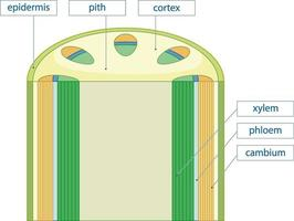 diagram som visar kärlvävnadssystem i växter