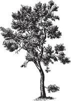 Korkeiche Baum Vintage Illustrationen vektor