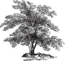 Vintage Illustrationen des Olivenbaums vektor