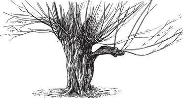 Pollard Tree Vintage Illustrationen vektor