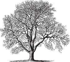 Vintage Illustrationen des Walnussbaums vektor