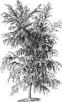 Vintage Illustrationen der weißen Birke vektor