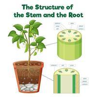 stammens och rotens struktur