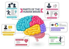 Funktionsbereiche der Vektorillustrationen des menschlichen Gehirndiagramms. vektor