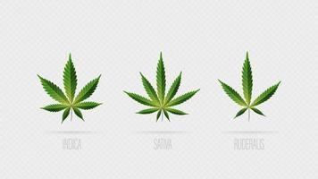 realistische vektorgrüne Blätter von Cannabis. Satz von Cannabisblättern, Sativa, Indica und Ruderalis lokalisiert auf einem weißen Hintergrund