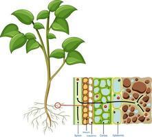 Diagramm, das Wurzelzelle der Pflanze zeigt, die auf weißem Hintergrund isoliert wird vektor