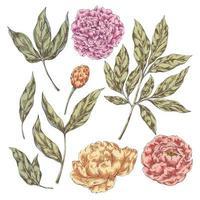 Pfingstrosenblüten Elemente vektor