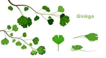 Ginkgo Biloba Blätter auf lokalisiertem weißem Hintergrund. vektor