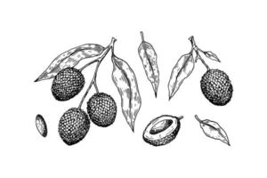 Satz von Hand gezeichneten Litschifrüchten, Zweigen und Blättern lokalisiert auf weißem Hintergrund. Vektorillustration im detaillierten Skizzenstil vektor