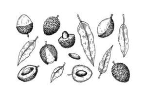 Satz von Hand gezeichneten Litschifrüchten und -blättern lokalisiert auf weißem Hintergrund. Vektorillustration im detaillierten Skizzenstil vektor