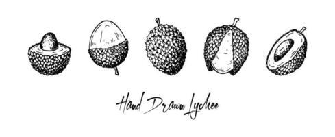 Satz von Hand gezeichneten Litschifrüchten lokalisiert auf weißem Hintergrund. Vektorillustration im detaillierten Skizzenstil vektor