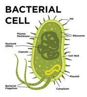 Bakterienzellanatomie im flachen Stil. Vektor moderne Illustration. Markierungsstrukturen auf einer Bazilluszelle mit Nucleoid-DNA und Ribosomen. Äußere Strukturen umfassen die Kapsel, Pili und Flagellum.