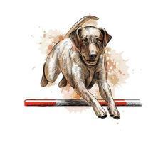 labrador retriever hoppar i en träning av smidighet från ett stänk av akvarell, handritad skiss. vektor illustration av färger