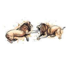 två stridande lejon från ett stänk av akvarell, handritad skiss. vektor illustration av färger