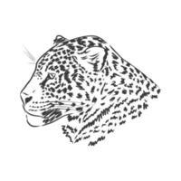 Jaguar. Hand gezeichnete Skizzenillustration lokalisiert auf weißem Hintergrund. Jaguartier, Vektorskizzenillustration vektor