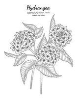 Hortensienblume und Blatthand gezeichnete botanische Illustration mit Strichzeichnungen auf weißem Hintergrund. vektor