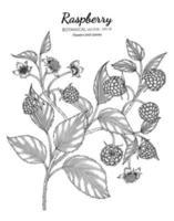 Himbeerhand gezeichnete botanische Illustration mit Strichzeichnungen auf weißem Hintergrund. vektor