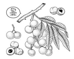 Satz gezeichnete Elemente botanischer Illustration des Dimocarpus longan Fruchthand vektor