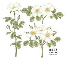 weiße gezeichnete botanische Illustration der Weinleserose oder der rosa canina Blume Weinleseart vektor