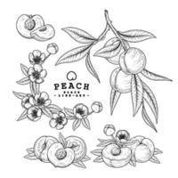 ganz und halb von Pfirsichfrucht handgezeichneten Skizze Retro-Stil vektor