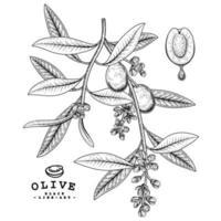 Olivenzweig mit Früchten und Blumen handgezeichneten Skizzenillustrationen vektor