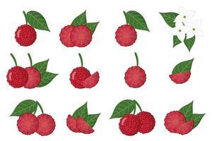 Satz Illustrationen mit exotischen Früchten, Blumen und Blättern von cornus capitata lokalisiert auf einem weißen Hintergrund. vektor