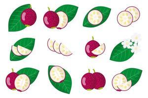 Satz Illustrationen mit exotischen Früchten, Blumen und Blättern der Cattley-Guave lokalisiert auf einem weißen Hintergrund. vektor