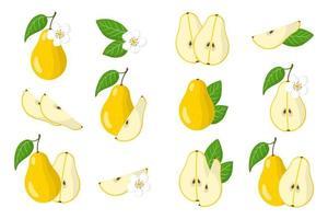 Satz Illustrationen mit exotischen Birnenfrüchten, Blumen und Blättern lokalisiert auf einem weißen Hintergrund. vektor
