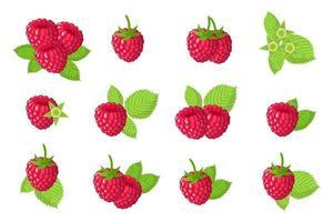 Satz Illustrationen mit exotischen Früchten, Blumen und Blättern der roten Himbeere lokalisiert auf einem weißen Hintergrund. vektor